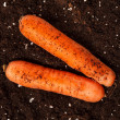Stock Photo: Carrots on soil