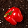 Pepper on the soil - Stock Photo