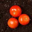Stock Photo: Tomatoes on soil