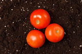 Tomatoes on the soil — Stock Photo
