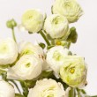 White Ranunculus — Stock Photo #22396779