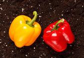 Pepper on the soil — Stock Photo
