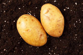 Potatoes on the soil — Stock Photo