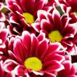 Stock Photo: Chrysanthemums as background