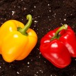 Stock Photo: Pepper on soil