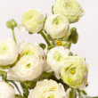 White Ranunculus — Stock Photo #22548485