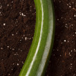 Stock Photo: Zucchini on soil