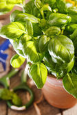 Basilic en pot — Photo