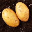 Potatoes on the soil - Stock Photo
