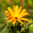Stock Photo: calendula flower
