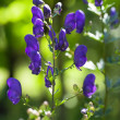 Lupine - Stock Photo