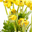 Yellow Ranunculus — Stock Photo #23217558