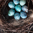 Blue eggs in the nest — 图库照片