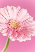 Nice pink gerbera — Stock Photo