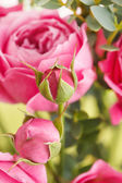 Pink roses — ストック写真
