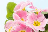 розовая примула — Стоковое фото