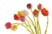 Nice tulip — Stock Photo