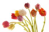 Bonito tulipán — Foto de Stock