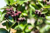 Chokeberry — Stock Photo