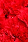 Carnation bouquet — Stock Photo