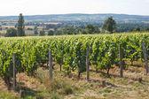 Paisaje hermoso viñedo — Foto de Stock