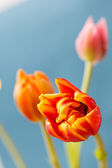 Beautiful tulips — Stock Photo