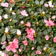Stock Photo: Blossoming plant of azalea