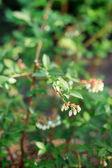 Blueberry flowers — Stock Photo