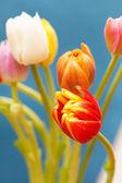Hermosos tulipanes — Foto de Stock
