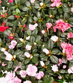 Blossoming plant of azalea — Stock Photo
