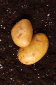 Potatoes on the soil — Stock Photo