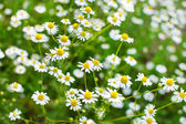 Field of daisy — Stock Photo