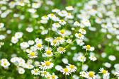Pole daisy — Stock fotografie