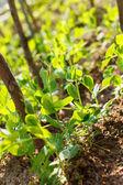 Guisante de jardín — Foto de Stock