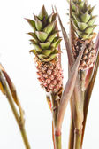 Pineapple plants — Stock Photo