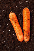 Carrots on the soil — Stock Photo