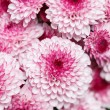 Pink chrysanthemum — Stock Photo #27536947