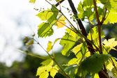 Hojas de uva verde — Foto de Stock