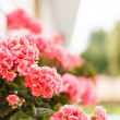 Pink geranium — Stock Photo #27579441