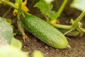 Komkommer in de tuin — Stockfoto