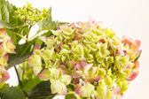 Beautiful hydrangea — Stock fotografie