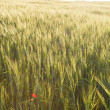 Green wheat on a field — Stock Photo