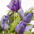 Stock Photo: Prairie Crocus