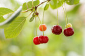Cherry in the garden — Stock fotografie