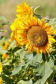 Krásné slunečnice — Stock fotografie