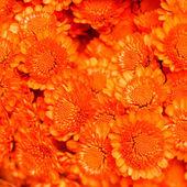 Orange chrysanthhemum — Stock Photo