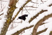 Raven sitting on a tree — Stock fotografie