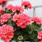 Nice geranium — Stock Photo #27842483