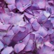 Purple hydrangea — Stock Photo #27842577
