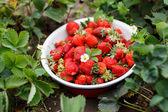 Fresas en el jardín — Foto de Stock